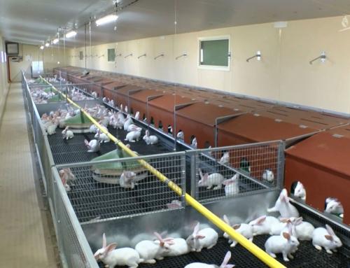 Agriculture : opération de séduction pour la filière cunicole