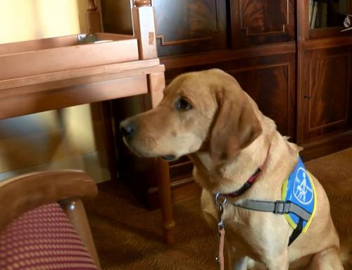 Solidarité : Pop, futur chien guide d'aveugles en tournée