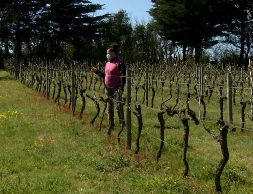 Météo : le gel a provoque des dégâts importants dans les vignes