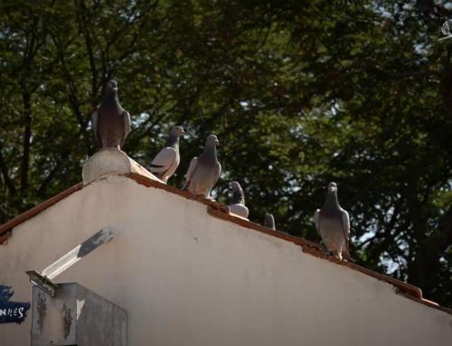 Colombophile – pigeons voyageurs