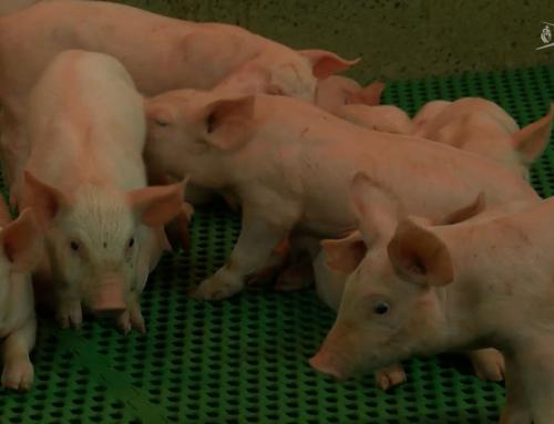 Gros plan sur le coût de production d'un élevage de porc